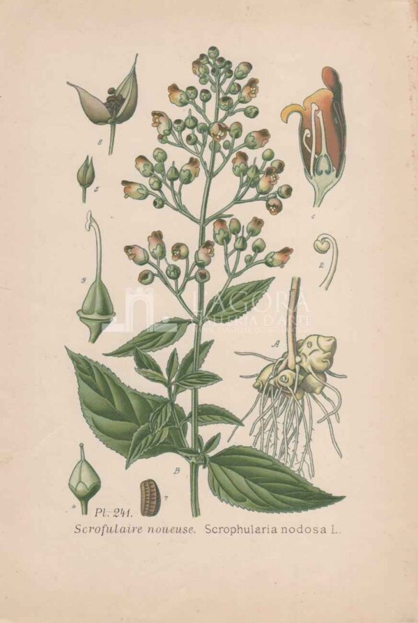 botanica cromolitografia 1
