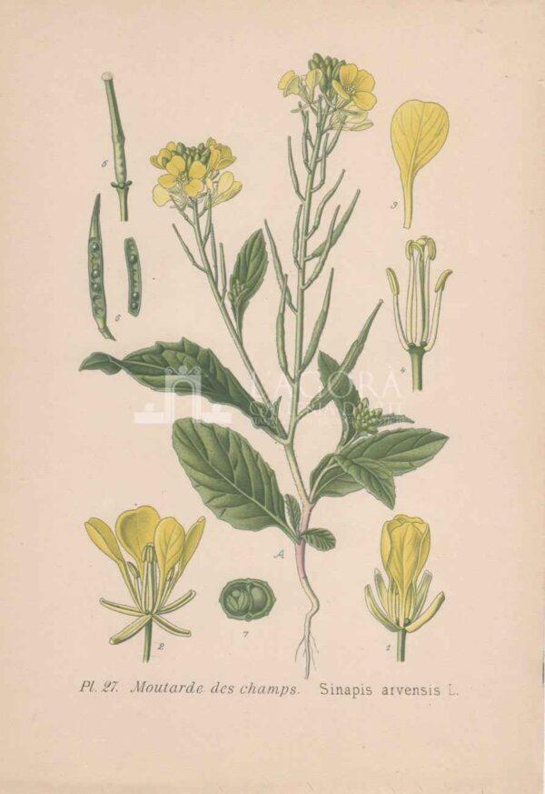 botanica cromolitografia 4