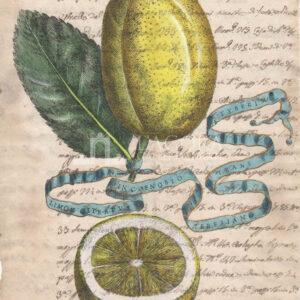 Citrus fruits on manuscript